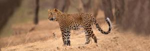 Fourth 'unnatural' leopard death in Odisha this year