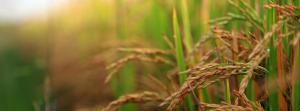 High temperatures reduce rice, sorghum yield in Karnataka