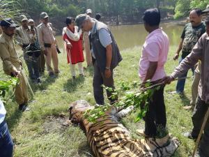 दुधवा में एक और बाघ की मौत