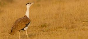 There are 150 Bustards in the Desert National Park, claims report