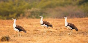 Two female Great Indian Bustards satellite-tagged in Rajasthan