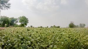 गंभीर कृषि संकट से जूझ रहा है हरित क्रांति का गढ़ जौन्ती गांव