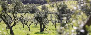 Millions of birds killed annually in southern Europe during olive harvest, says study