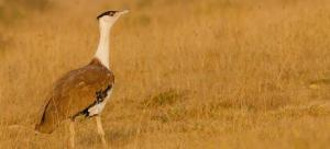 Has the Great Indian Bustard just been subjected to a biblical blunder?