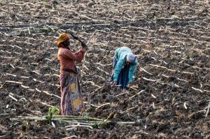 The sugarcane story: Not at all short and sweet