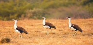 Noise Pollution: An ignored element in Great Indian Bustard conservation