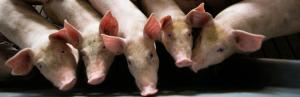 African swine fever runs riot across Asia; Is India next?