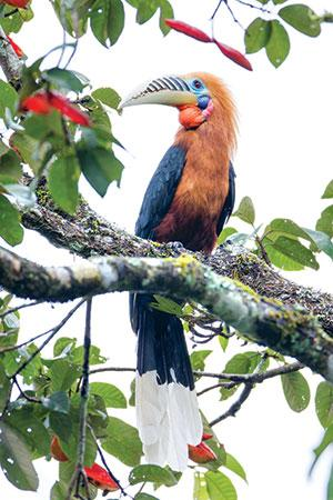 The Rufous-necked Hornbill  is used as headgear among tribal communities in Arunachal Pradesh