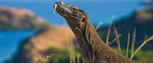 A Komodo Dragon against magnificent scenery on Komdo Island, Indonesia. Photo: Getty Images