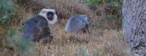 Save the Himalayan Grey Langur