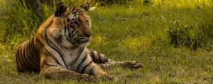 Run-up to World Tiger Day: Can India become a tiger utopia?