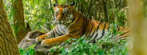 Tiger Census 2018: None found in Buxa, Palamu and Dampa reserves