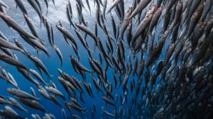 We tracked South Africa's sardine run over 66 years: here's what we found