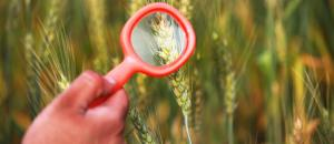 Invasive weed found in Haryana wheat crop