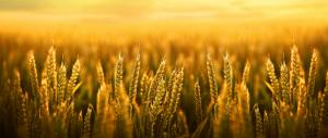 High CO2 emissions reducing nutrients in rice, wheat