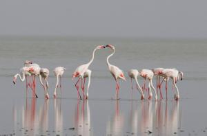 Every year, lesser and greater flamingos turn up in thousands at Rajasthan's Sambhar Salt Lake between the months of June and November. These migratory birds come here in search of food. But lately the pollution caused by illegal salt-making units has red