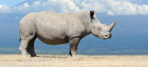 CITES CoP 2019: Eswatini's request to trade in white rhino horn rejected