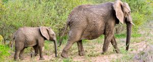 CITES CoP 2019: No more trade in African elephants