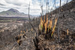 Plants can recover after being burned, so why might some species in the Amazon face local wipe out?