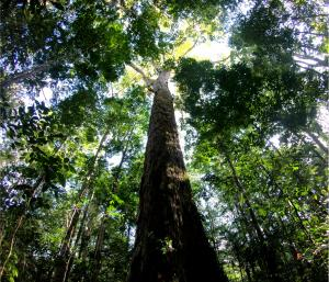 The Amazon's tallest tree just got 50% taller – and scientists don't know how