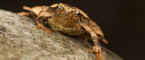 New species of frog discovered in Arunachal