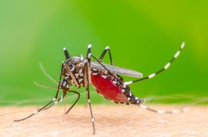Genetically modifying mosquitoes to control the spread of disease carries unknown risks