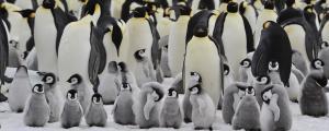 Change status of emperor penguins to 'vulnerable': Study