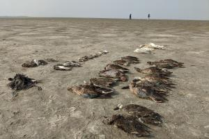 सांभर झील: हजारों प्रवासी पक्षियों की मौत, विषाणु हमले की गुंजाइश बेहद कम