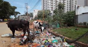 Not much would be visible to the layperson in this pile of waste in which dogs and cows are feeding. But a rag picker sees bottles, cardboards, plastic containers, glass and more.In other words, he sees wealth. Photo by Anjali V Raj