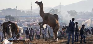 This year's Pushkar animal fair was disappointing as far as the main attraction, the camel is concerned. Photo by Vikas Choudhary