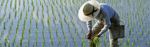 Rice yields could plummet 40% by 2100 due to climate change: Stanford University