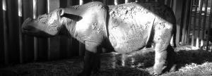 Sumatran rhino is now extinct in Malaysia