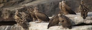 75% decline in Gujarat's vulture population: Babul Supriyo