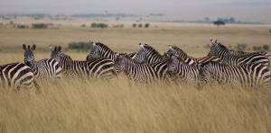 Kenyan wildlife policies must extend beyond protected areas