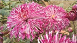 Scientists develop new Chrysanthemum variety