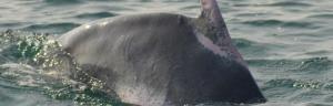 Dolphin population in Odisha's Gahirmatha halves: Annual census
