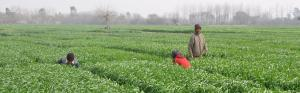 Hazards of using fertilisers in Punjab