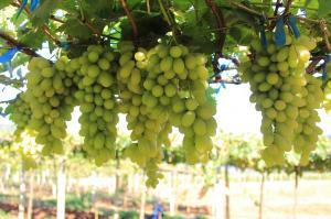 कोरोना संक्रमण:बर्बाद हो रहे अंगूर किसान, 17 हजार करोड़ रुपए नुकसान के आसार