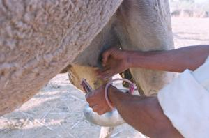 Is that milk safe? CSE's assessment of antibiotic misuse in dairy sector says it's not