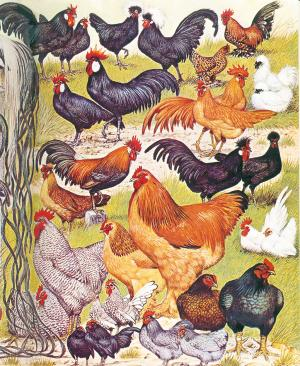 How the fowl, chicken's ancestor, travelled the world