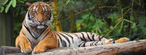 US tiger coronavirus positive; wildlife and zoo alert in India
