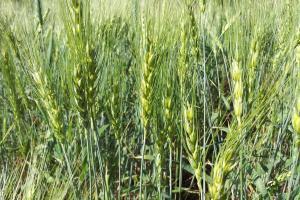 लॉकडाउन ग्रामीण अर्थव्यवस्था: क्या केवल 14% किसानों से ही फसल खरीदेगी सरकार?