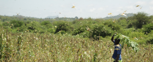 Kenyan farmers suffer as COVID-19, locust invasion threatens harvest