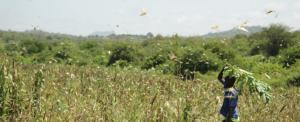 Kenyan farmers suffer as COVID-19, locust invasion threatens harvest