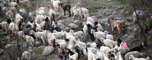 COVID-19: Himachal's pastoral community in the shadow of lockdown