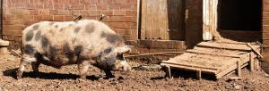 Livestock not susceptible to novel coronavirus: study
