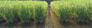 Rice-fish farming system in India is in urgent need of conservation and promotion