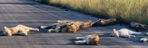 Global Eco Watch: Lions cat nap on Kruger road, with South Africa in lockdown
