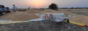 Punjab procures wheat in the shadow of COVID-19