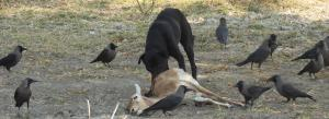 India's wildlife is under threat from free roaming dogs